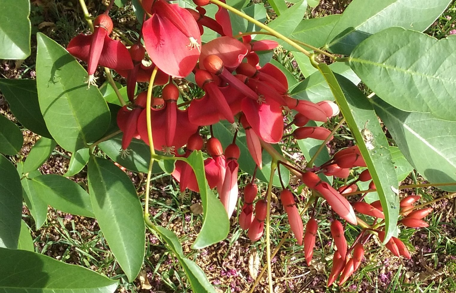 Cockspur Coral tree