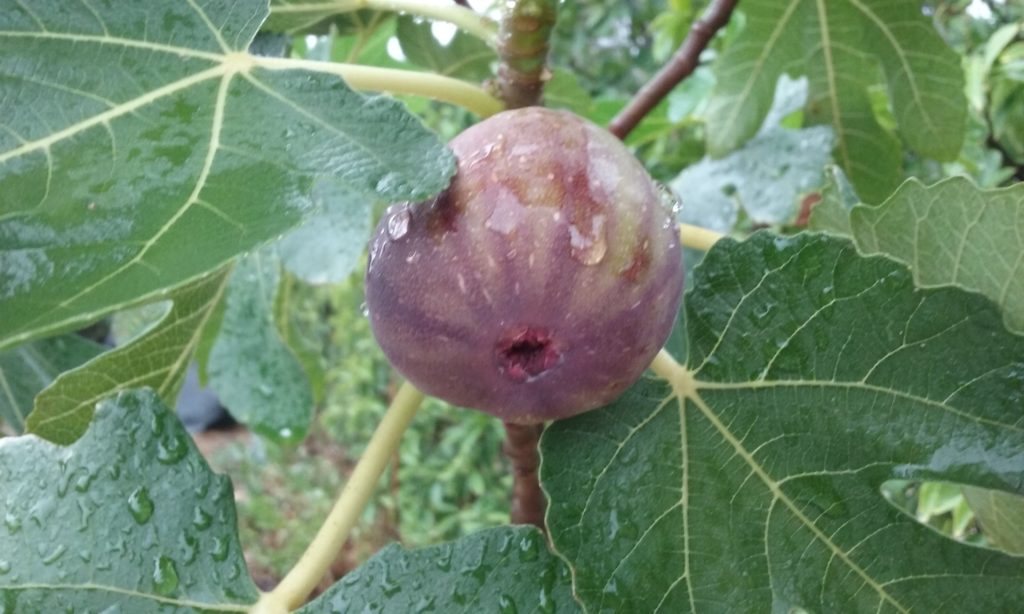 3. The very first fruit on my Black Genoa fig tree.