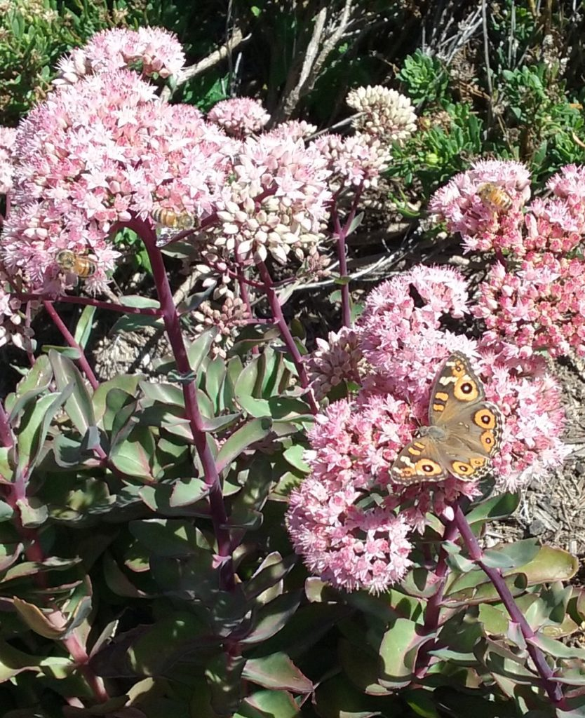 4. A Meadow Argus butterfly and several bees enjoying the sedum