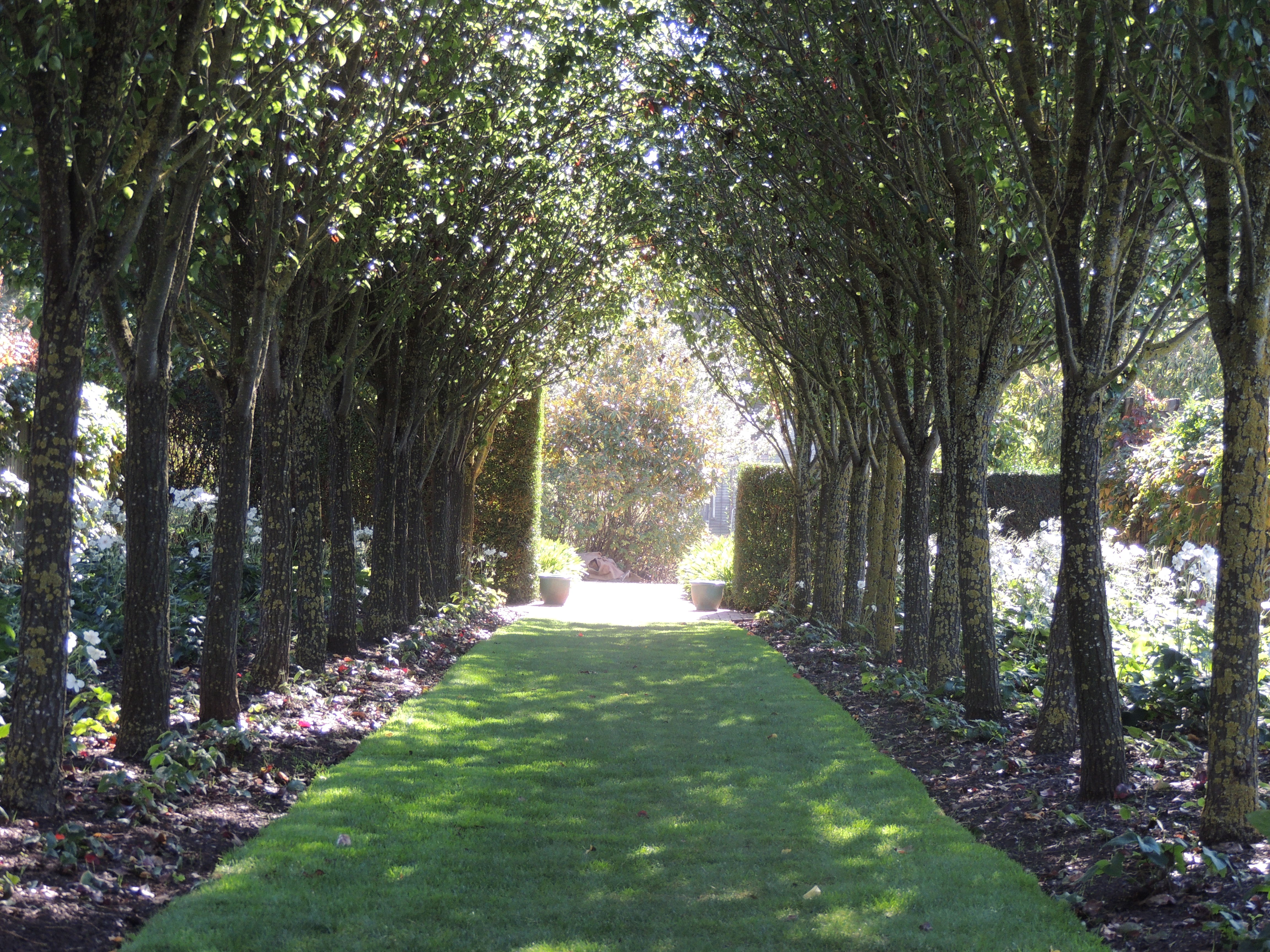 The pear walk, planted with Pyrus Calleryana, has an underplanting of white Japanese anemones and a beautifully kept grassy sward. Look how the sun dapples through the leaves onto the path.
